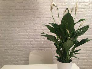 Lírio-da-paz em vaso sobre a mesa