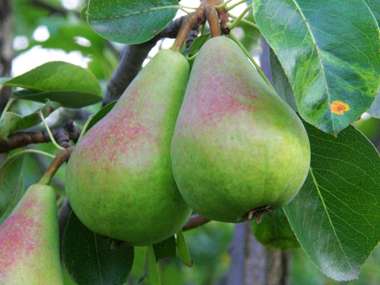 qual a melhor época para plantar árvores frutíferas