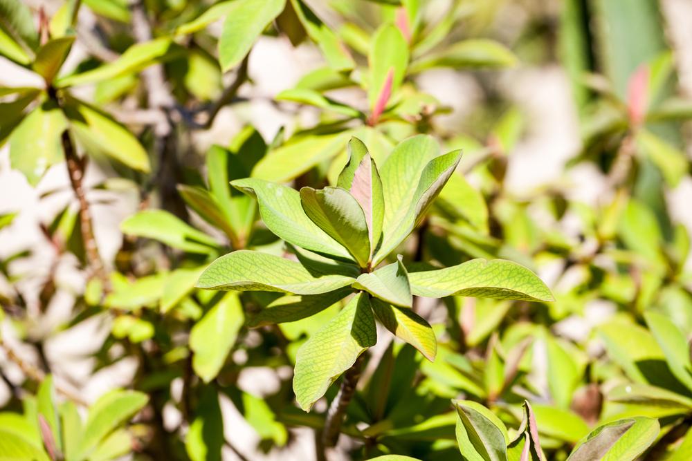 planta janaúba