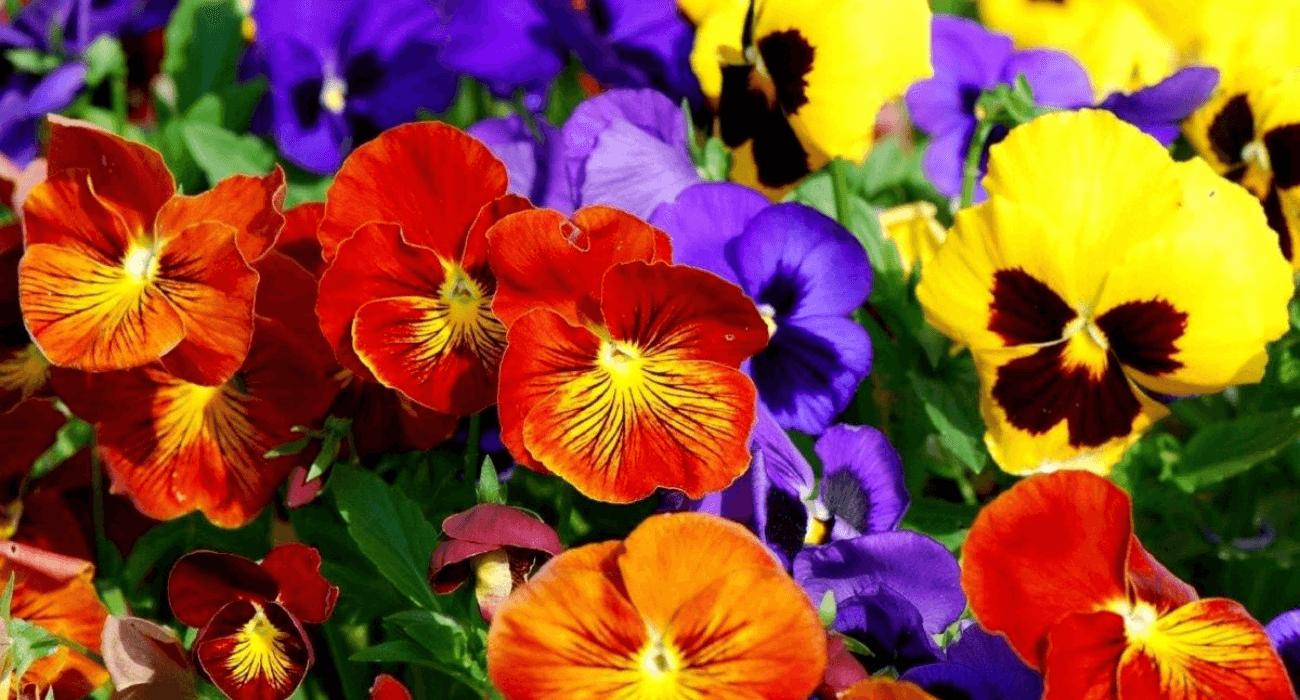 Como plantar amor-perfeito | Blog da Plantei